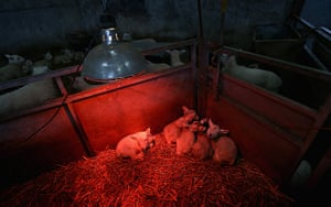 24 hours in pictures: Brecon, UK: New born lambs huddle under heat lamps at Gwndwnwal Farm, Wales