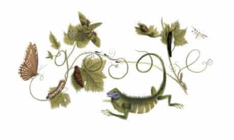 Painting by German illustrator and naturalist Maria Sibylla Merian