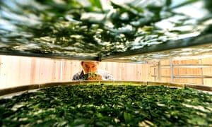 Green tea: A farmer checks newly-picked tea leaves at a tea plantation in Guiding County, in southwest China's Guizhou Province.