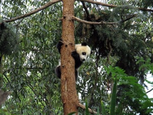 China: A giant panda climbs a tree in the Bifen