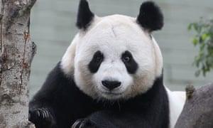 Panda Tian at Edinburgh Zoo