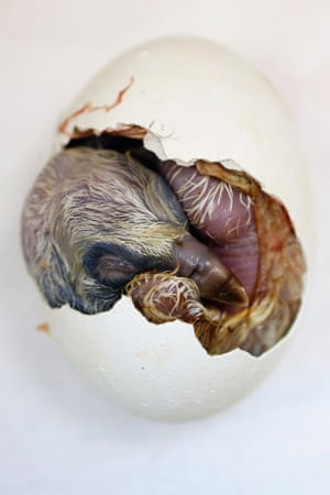 """Not such a cute animal picture. A partially hatched Griffon Vulture chick is seen inside its egg at the Jerusalem Biblical Zoo. The egg, which was collected in southern Israel, was kept in an incubator until it hatched at the zoo, as part of an initiative to raise the number of endangered bird species in the region. A pair of """"foster parent"""" vultures will shortly take over rearing the chick at the Ramat Gan Safari Park near Tel Aviv."""