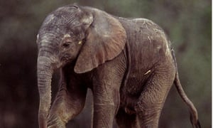 A week-old African elephant calf