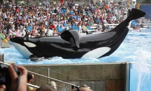 A killer whale performs at SeaWorld in a scene from Blackfish.