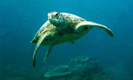 A green sea turtle swimming above Australia's Great Barrier Reef