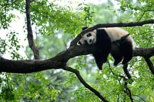 Week in wildlife: Giant panda