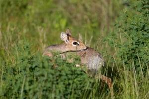 Week in wildlife: A Kirk's dik-dik