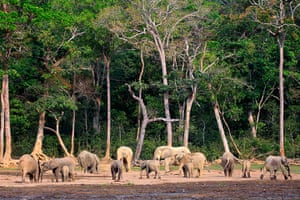 Week in wildlife: forest elephants gather at Dzanga Bai clearing in the Dzanga-Sangha reserve