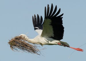 Week in wildlife: A white stork transports nesting material