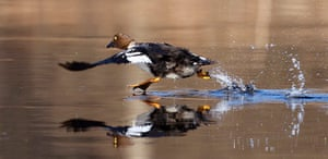 Week in wildlife: A Goldeneye runs on the surface of a river