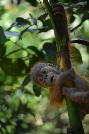 Week in wildlife: an endangered six month old male baby orangutan