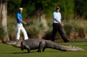 best of the week: Giant alligator at the Zurich Classic at TPC Louisiana