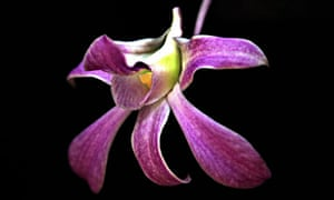 Pigeon orchid