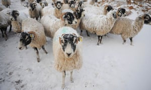 The loss of animals could potentially lead to higher lamb prices this summer