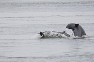 Greater Mekong: The Irrawaddy Dolphin in the Mekong River, Cambodia