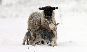 Lambs are dying of cold and lack of food