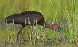 Glossy ibis standing in water