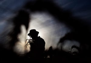 24 hours in picture: An Ultra Orthodox Jewish man harvests wheat