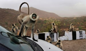 Cheeky monkey! A wild grey langur monkey gestures at the camera from the bonnet of a car at a rest stop on a road near Leela, in India.