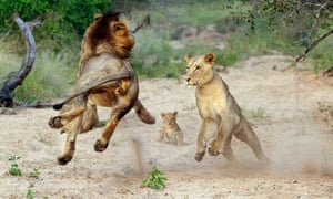 Grrr or purr? It's family playtime for these lions in Kruger National Park, South Africa. See more of these intimate shots of the pride in our gallery.