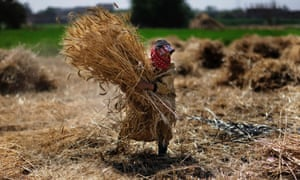 Harvest is under way for this farmer carrying bundles of wheat in Qalubiyah in Egypt. The country's wheat crop is estimated at close to 10 million tons this season, agriculture minister Salah Abdel Momen said, which is more than previously thought.