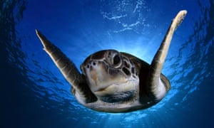 A green turtle swimming off the shore of Tenerife, Spain. Spanish photographer Montse Grillo has documented the green turtles (Chelonia mydas), off the coast of her home island.