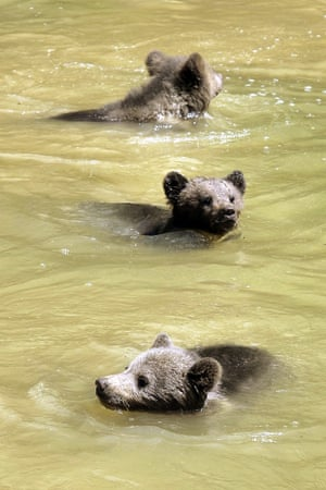 Three young bears swim in their enclosure at the Langenberg wildlife park in Langnau am Albis, Switzerland. The cubs are now four months old.