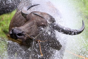 A carabao is bathed with water before the traditional Carabao Festival in Bulacan Province, the Philippines. A procession of more than 600 water buffaloes, locally known as carabaos, with decorated carts parade through the streets during the annual festival.
