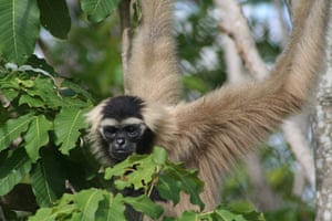 Primates of the World: Pileated Gibbon