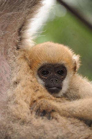 Primates of the World: Baby northern muriqui