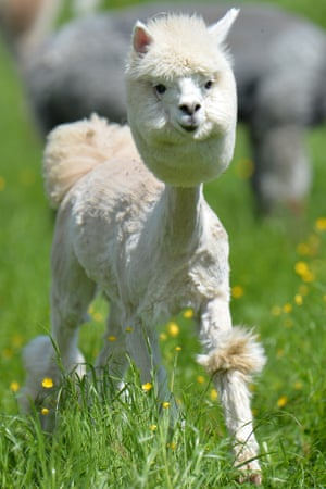 Shorn: an alpaca in a field at Alpaca-Land farm in Obertrum in the Austrian province of Salzburg. The annual shearing is done in the spring to make the animals more comfortable for the summer months.