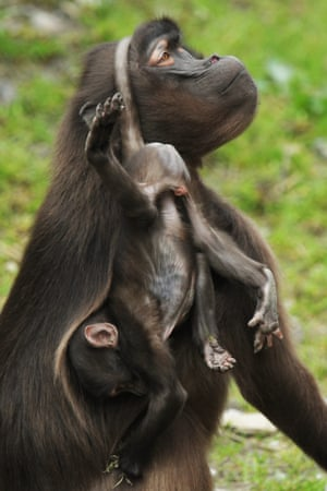 Hanging by a thread: Gelada baboons play in their enclosure in Zurich zoo, Switzerland.