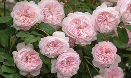 Rosa 'Albrighton Rambler'
