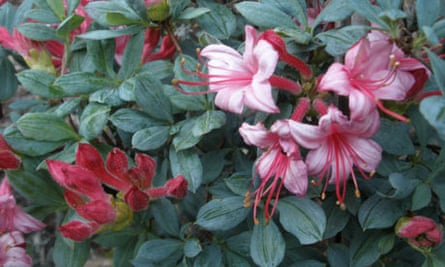 Rhododendron 'Water Baby'
