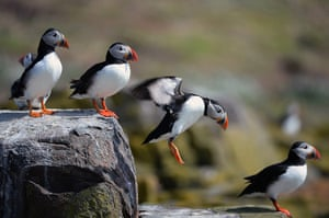 Week in wildlife: Farne Island Rangers Carry Out 'Puffin Census'