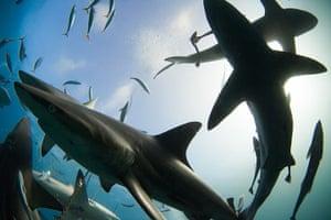 Week in wildlife: Shark Feeding Frenzy
