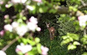 Week in wildlife: Deer in garden