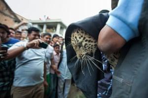 Week in wildlife: Three stray leopards in a local area of Kathmandu