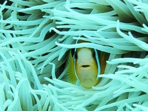Week in wildlife: Beautiful Clown Fish In Indonesia