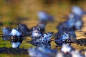 Week in wildlife: Male moor frogs turn blue in spawning season, Ljubljana, Slovenia