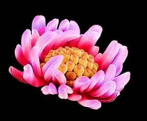 flower micrographs: Buttercup flower (Ranunculus sp.)
