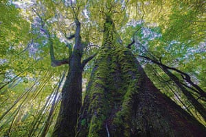 Tarkine region: Rainforest giants