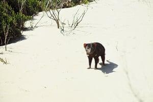 Tarkine region: Tasmanian Devil