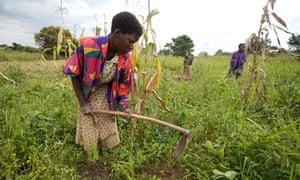 Farming on the Katine project