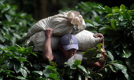 A coffee picker carries sacks of coffee cherries at a plantation in El Crucero