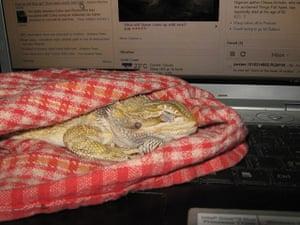 Pets meet technology: dragon on laptop