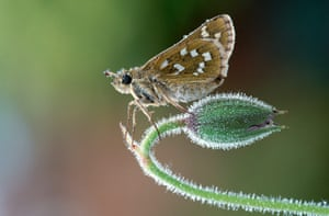 The State of Nature: Silver Spotted Skipper Butterfly