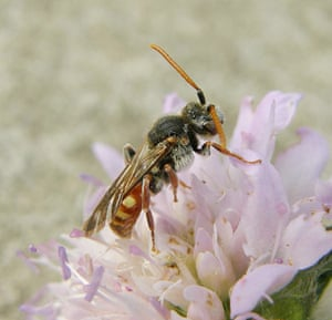 The State of Nature: Scabious cuckoo bee