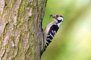 The State of Nature: Lesser spotted woodpecker