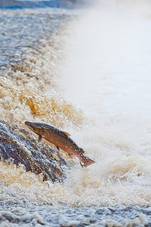The State of Nature: Atlantic salmon